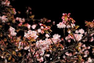 夜桜〜咲き始め〜の素材 [FYI00193555]