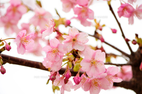 桜の素材 [FYI00193557]