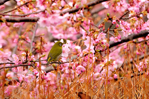メジロのお花見の素材 [FYI00193558]