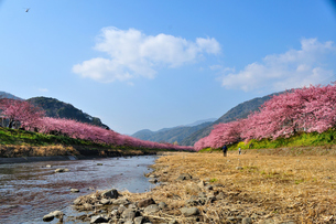 河津桜の並木の素材 [FYI00193559]