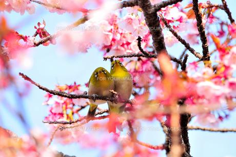 メジロ夫婦のお花見の素材 [FYI00193562]