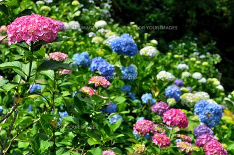 紫陽花の素材 [FYI00193563]
