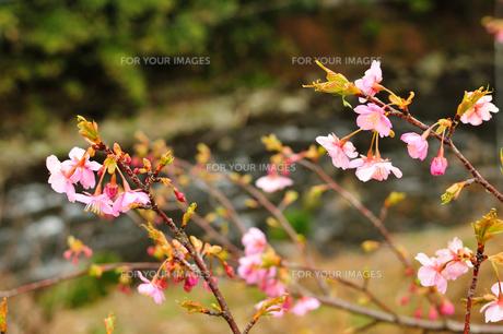 桜の開花の素材 [FYI00193565]