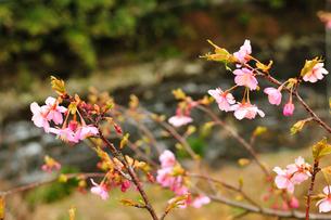 桜の開花の写真素材 [FYI00193565]