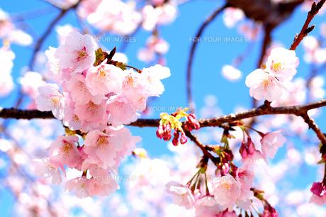 春うららかな桜模様の素材 [FYI00193566]