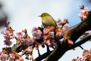 メジロと桜の素材 [FYI00193569]