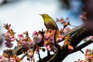 メジロと桜の素材 [FYI00193570]