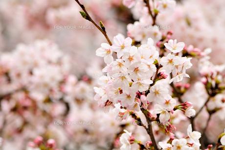 見頃な桜・・・ウフフ♪の素材 [FYI00193571]