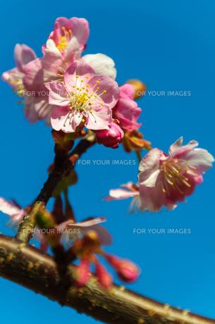 早咲きの桜の素材 [FYI00193573]