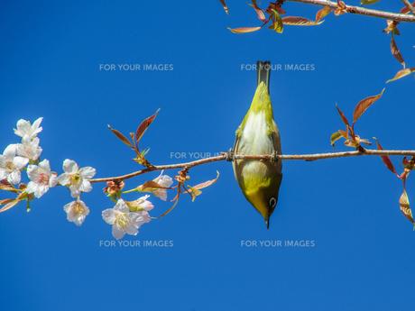 桜とメジロの素材 [FYI00193574]