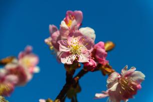 桜咲くの素材 [FYI00193579]