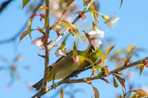 早咲きの桜とメジロの素材 [FYI00193581]