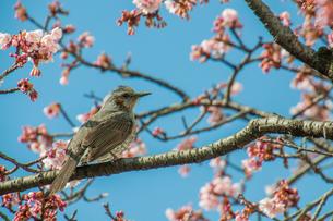 ヒヨドリと桜の素材 [FYI00193590]