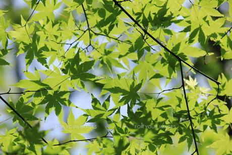 新緑のモミジ狩り壁紙素材の写真素材 [FYI00193625]