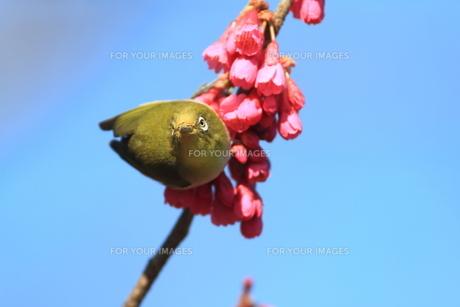 メジロと桜の写真素材 [FYI00193688]