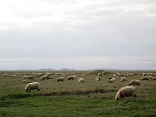 草をはむ羊の群れの写真素材 [FYI00193765]