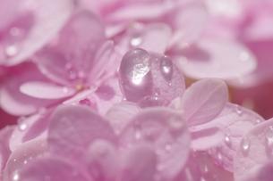 紫陽花輝石の写真素材 [FYI00194223]