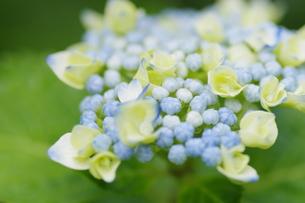 咲き初めの写真素材 [FYI00194239]