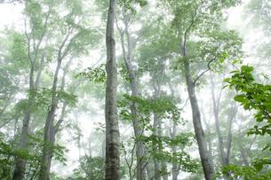 もやに包まれたブナ林の写真素材 [FYI00194336]