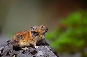 エゾナキウサギの写真素材 [FYI00194346]