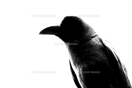 Crowの写真素材 [FYI00194358]