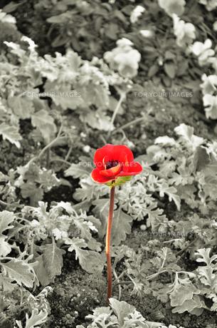 小さな赤い花の素材 [FYI00194361]