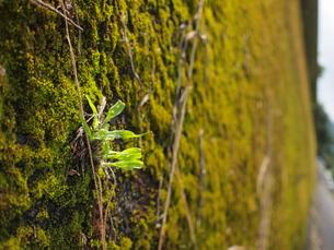 苔の壁の写真素材 [FYI00194432]