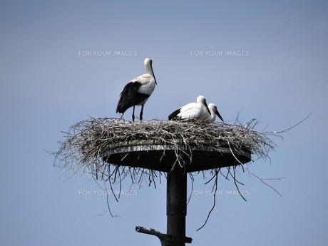 巣の上のコウノトリの写真素材 [FYI00194760]