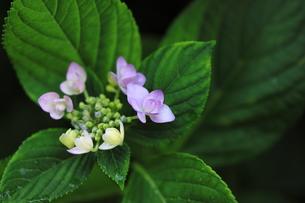 咲き始めのアジサイの写真素材 [FYI00194824]