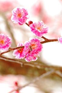 梅と訪問者の蜂の写真素材 [FYI00195094]