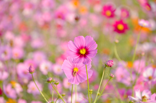 コスモス畑のピンクのコスモスの写真素材 [FYI00195183]