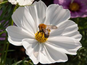 ミツバチと白いコスモスの素材 [FYI00195187]