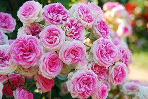 ピンクのバラの写真素材 [FYI00195201]