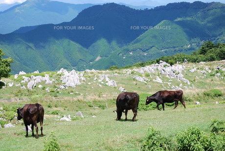 放牧の写真素材 [FYI00195215]