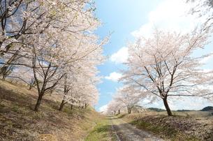 散り始めの桜の写真素材 [FYI00195249]