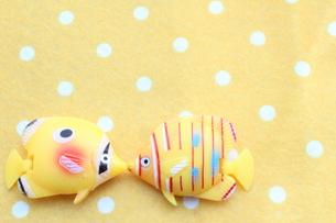 キスする熱帯魚の写真素材 [FYI00195388]