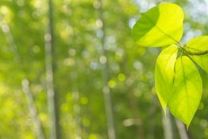 新緑の葉の写真素材 [FYI00195447]