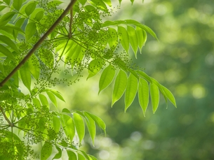 新緑の葉の写真素材 [FYI00195449]