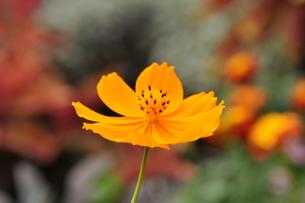 オレンジコスモスの写真素材 [FYI00195507]