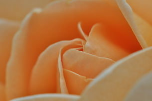 薔薇の写真素材 [FYI00195511]