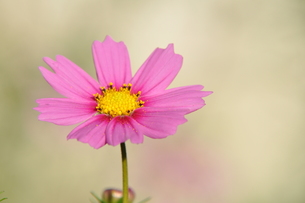 ピンクのコスモスの写真素材 [FYI00195543]