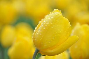 黄色いチューリップの写真素材 [FYI00195545]