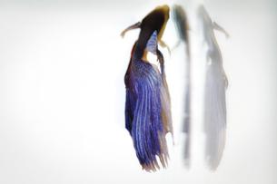 熱帯魚の写真素材 [FYI00195628]