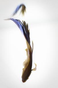 熱帯魚の写真素材 [FYI00195629]
