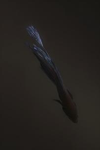熱帯魚の写真素材 [FYI00195633]