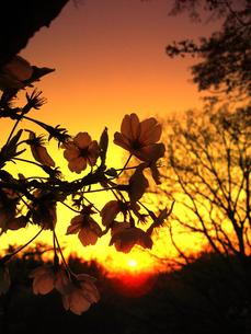 夕暮れの桜の写真素材 [FYI00195675]