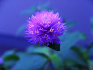 紫センニチコウとブルーの時の写真素材 [FYI00195686]