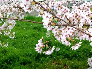 桜 〜東京〜の写真素材 [FYI00195969]