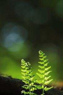 シダの若葉の写真素材 [FYI00196095]