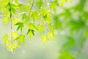 雨に濡れるもみじの新緑の素材 [FYI00196098]